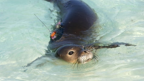 IMAGE: MONK SEAL PUP