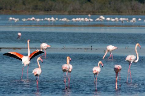 Image: Flamingos in Camargue