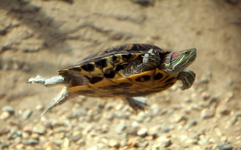 Image: Red-eared slider