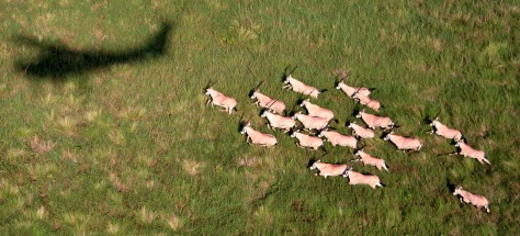 Image: Oryx