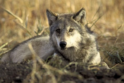 Image: Modern wolf