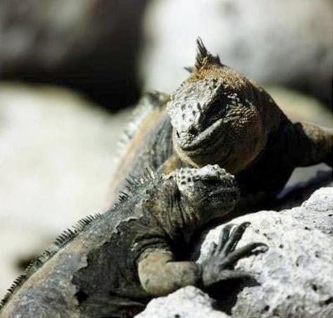 Image: Galapagos marine iguana couple