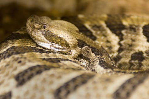 Image: Timber rattlesnake