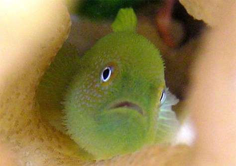 Image: Goby fish
