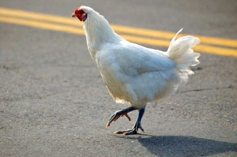 Image: Chicken crossing the road