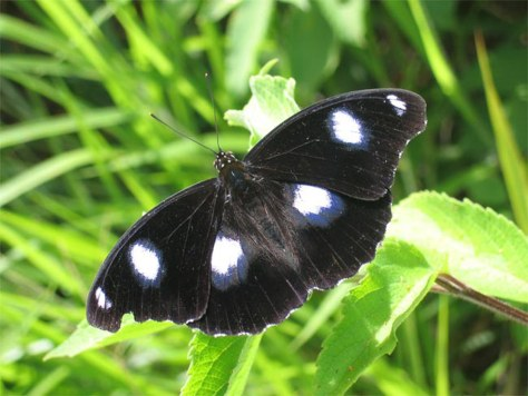 Image: Blue Moon butterly