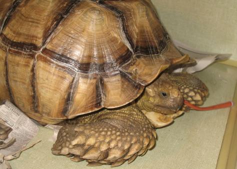 Image: Injured tortoise
