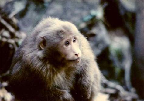 Image: Young Tibetan Macaque