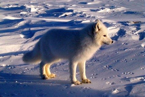 Image: Arctic fox