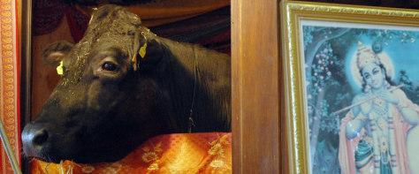 Image: Shambo the bull