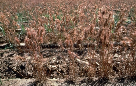 IMAGE: RED BROME