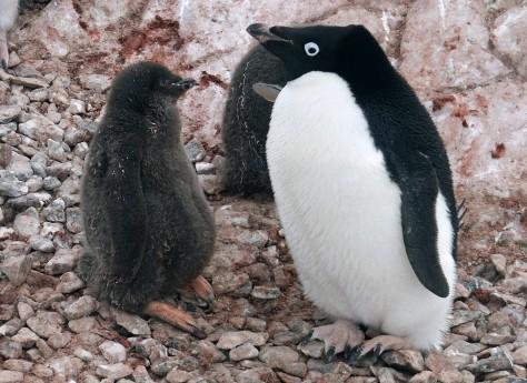 IMAGE: Adélie penguin adult and chick