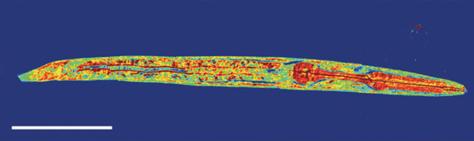 Image: 3-D nematode image