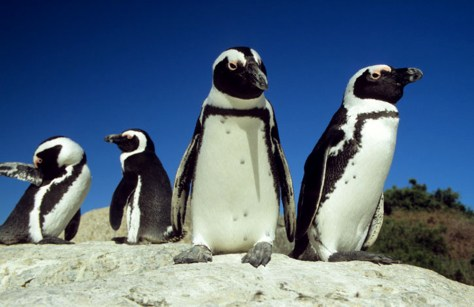 Image: African penguins, Cape Town, South Africa