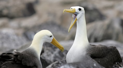 IMAGE: Waved Albatross