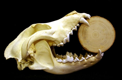IMAGE: WOLF SKULL CLAMPS TREE RING