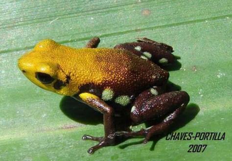 Image: Golden frog of Supata