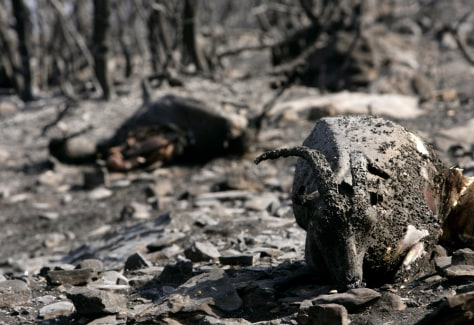 IMAGE: BURNED OUT FOREST, DEAD GOATS