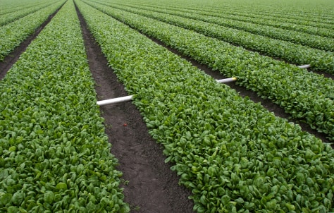 Image: California spinach farm