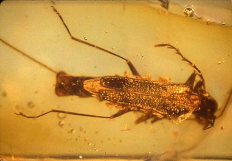 Image: Beetle fossil