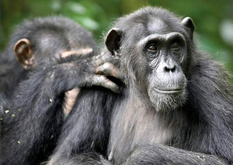 Image: Chimps