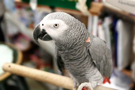 Image: Alex the African Grey parrot