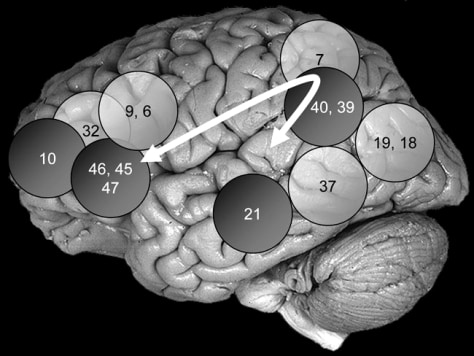Image: Brain areas that play role in intelligence