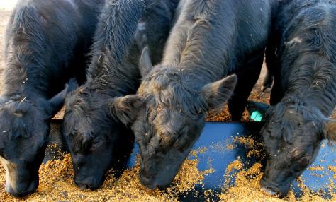 IMAGE: COWS FEEDING