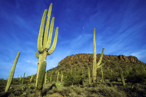 Image: Saguaro cactuses in the desert outside of Tucson, Arizona