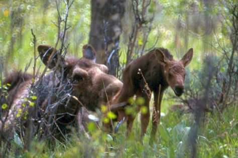Image: Moose and newborns