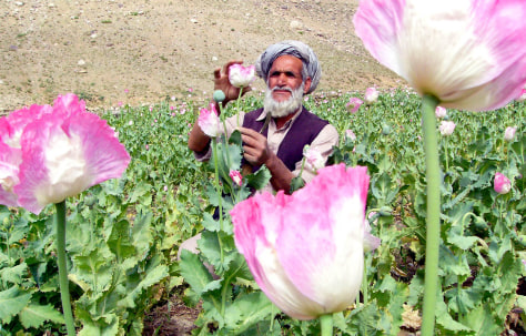 Image: Afghan farmer looks at his opium poppy field.