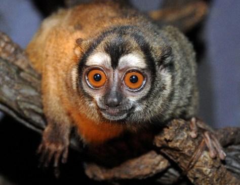 "Image: ""Midget,"" an owl monkey at the Bronx Zoo."