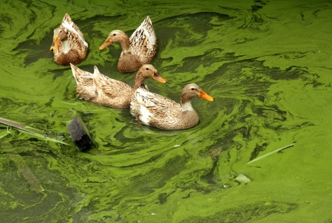 IMAGE: DUCKS IN ALGAE-CHOKED LAKE