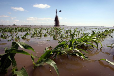 IMAGE: FLOODED CORN FIELD