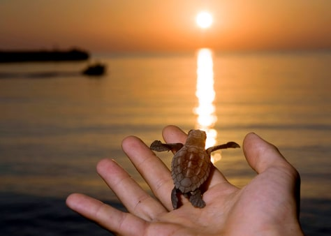 Volunteer from Marine Turtle Rescue Center holds newly hatched sea turtle on Linosa