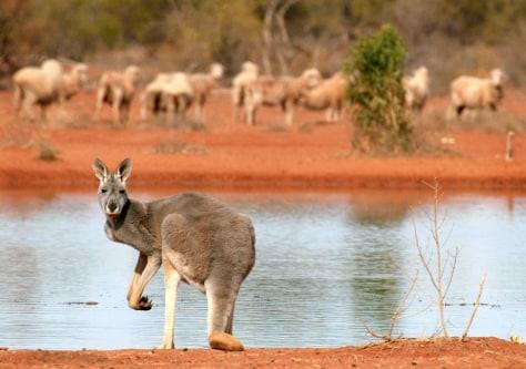 Image: Kangaroo