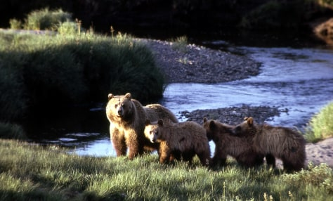 IMAGE: GRIZZLY BEAR AND CUBS