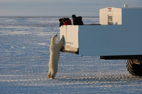 Image: The polar bears of Canada and Alaska