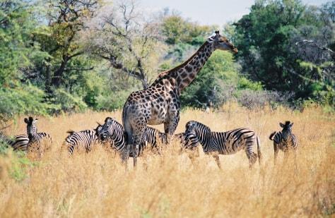 Image: Wildlife in Okavango Delta