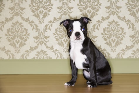 Image: Boston Terrier puppy