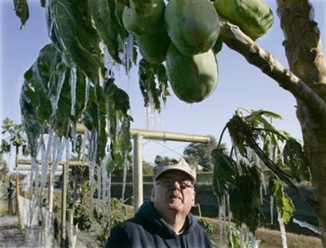 Image: Ice hangs from papaya tree