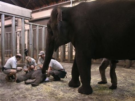 Image: Taronga Zoo veterinarians give treatment to a newborn elephant calf.