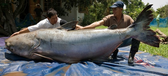 Image: Giant catfish