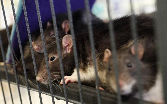 Image: Rats
