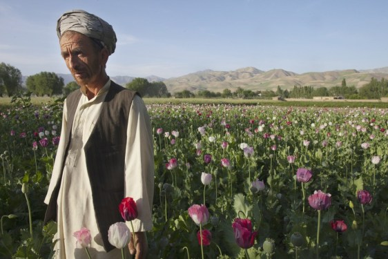 Image: Afghan poppy farmer, Zareen, stands in his poppy field