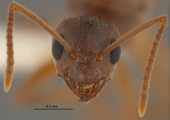 Image: Queen hairy crazy ant