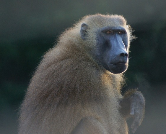 Image: Baboon in French study