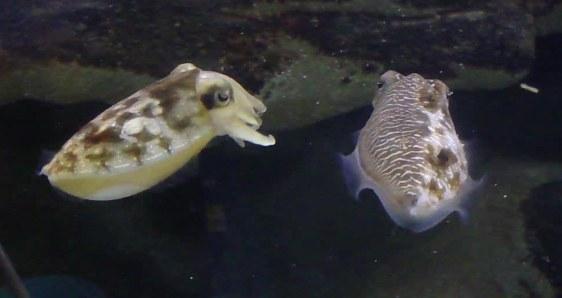 Image: Cuttlefish