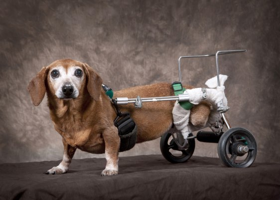 Image: Beanie the paralyzed dog