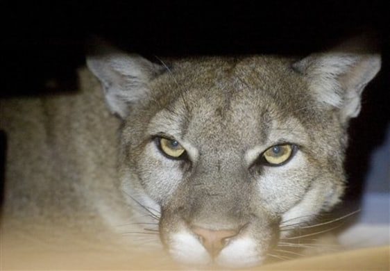 Image: Mountain lion in garage.